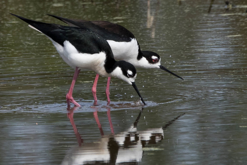 Black-necked Stilts<br /> Location: Sarasota county, FL