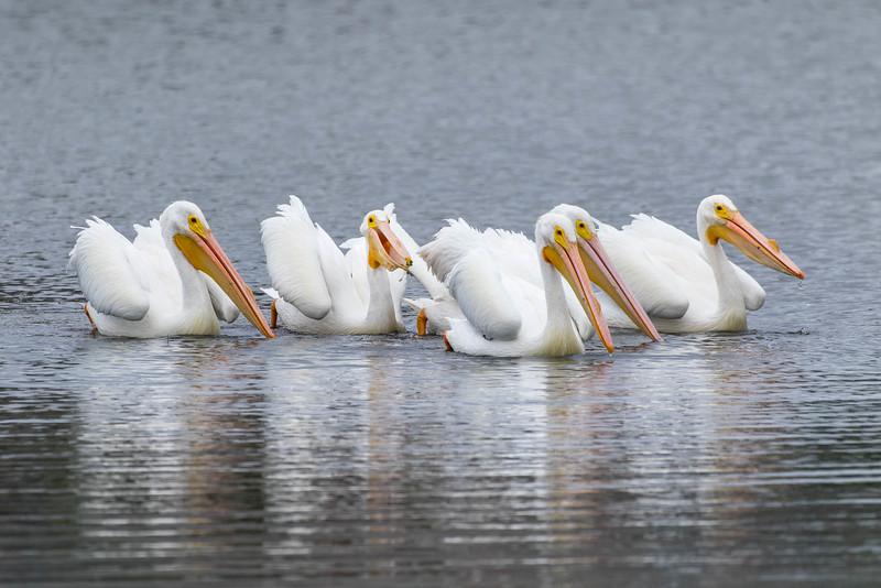 American White Pelicans<br /> Location: Sarasota county, FL