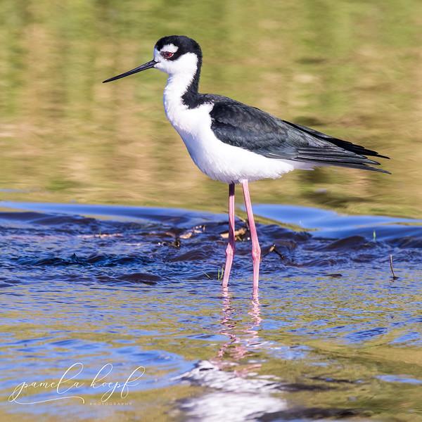 Black-necked Stilt<br /> Sarasota county, FL<br /> Myakka River State Park