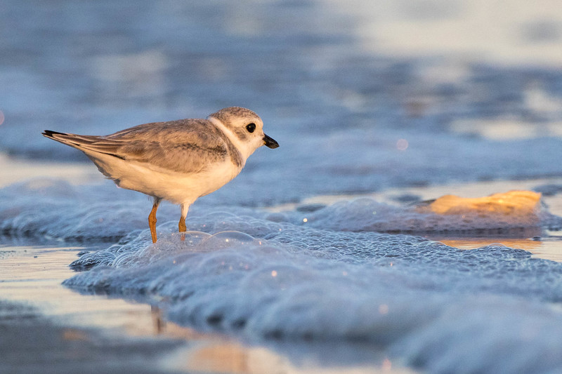 Piping Plover<br /> Dare county, NC