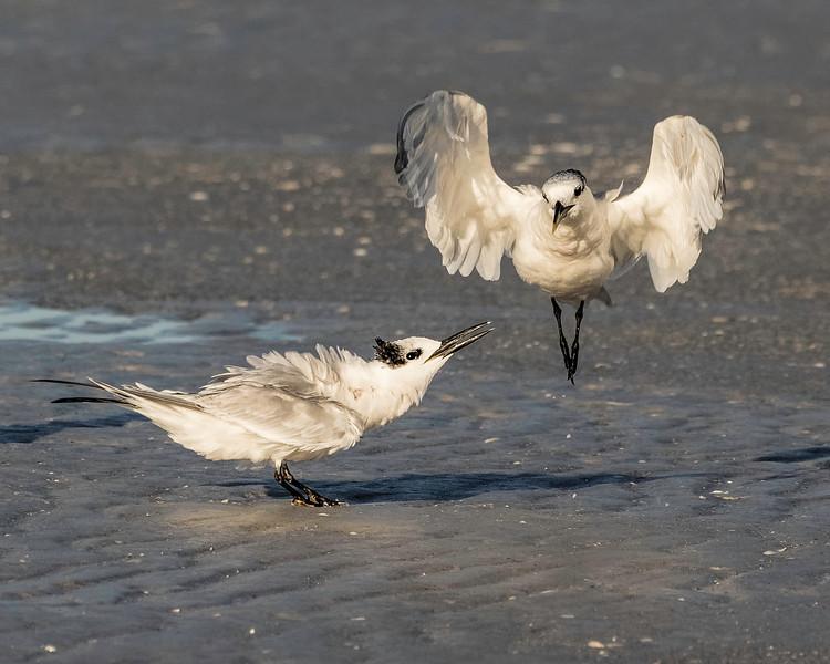 Sandwich Terns<br /> Location: Sarasota County, FL