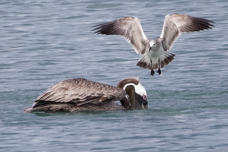 Laughing Gull harassing a Brown Pelican<br /> Location: Sarasota county, FL