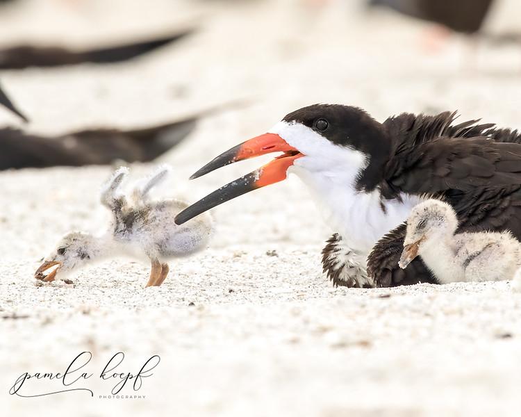 Black Skimmer<br /> Sarasota county, FL<br /> Lido Key Beach