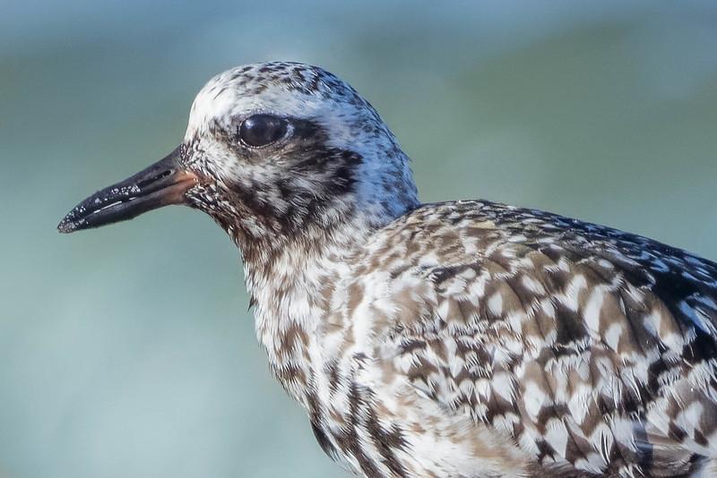 Black-bellied Plover closeup<br /> Location: Charlotte county, FL<br /> Little Gasparilla Island