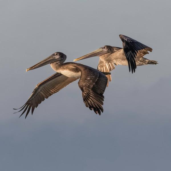 Brown Pelicans<br /> Location: Sarasota County, FL