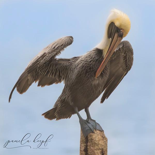 Brown Pelican<br /> Sarasota County