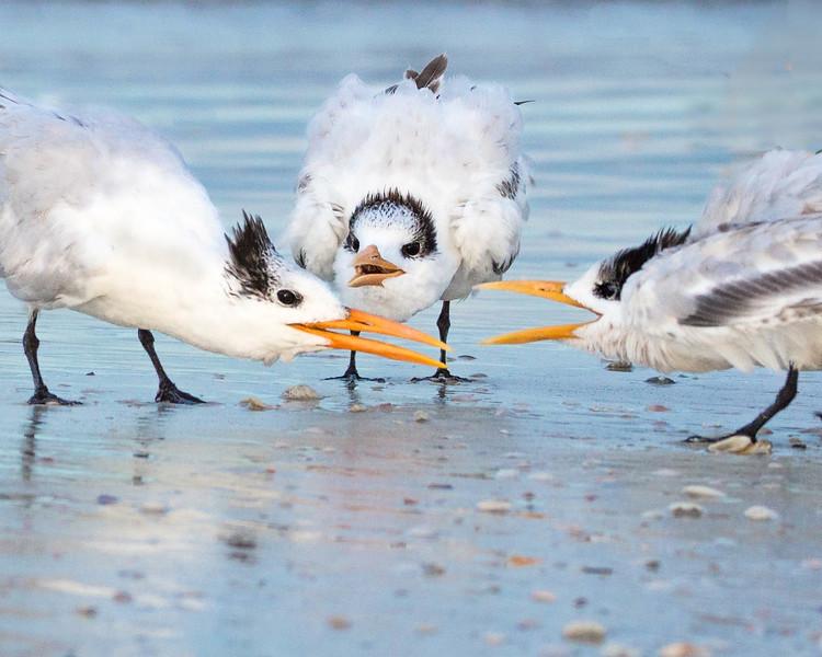 Royal Terns<br /> Sarasota county, FL
