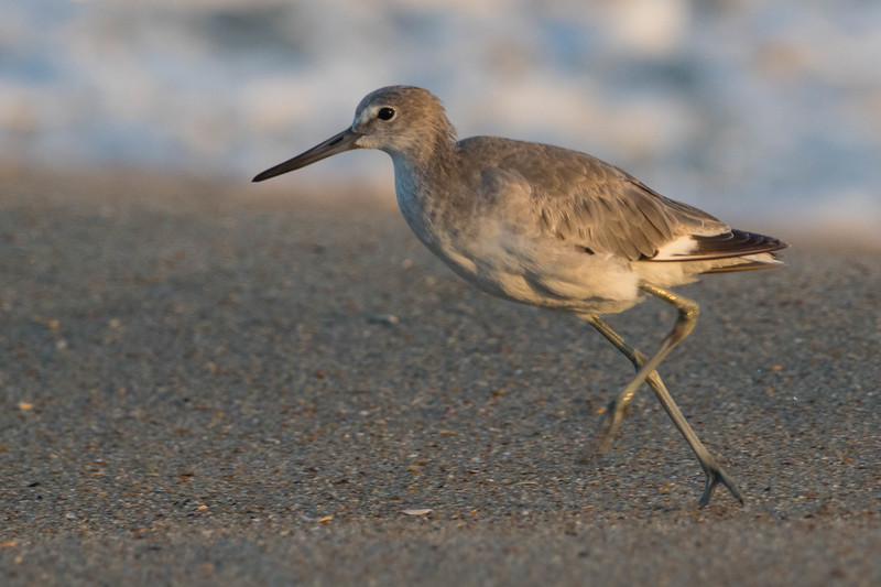 Willet<br /> Dare county, NC