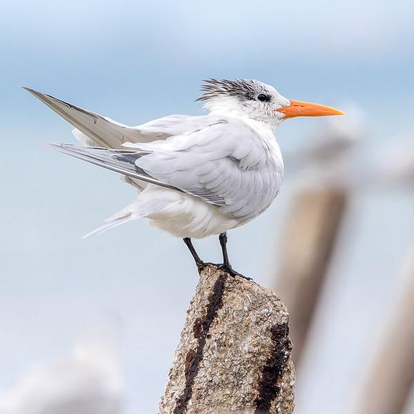 Royal Tern<br /> Sarasota county, FL<br /> Charles Hegner Memorial Nature Walk