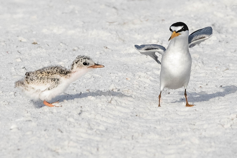 Least Terns, parent and chick<br /> Location: Sarasota county, FL