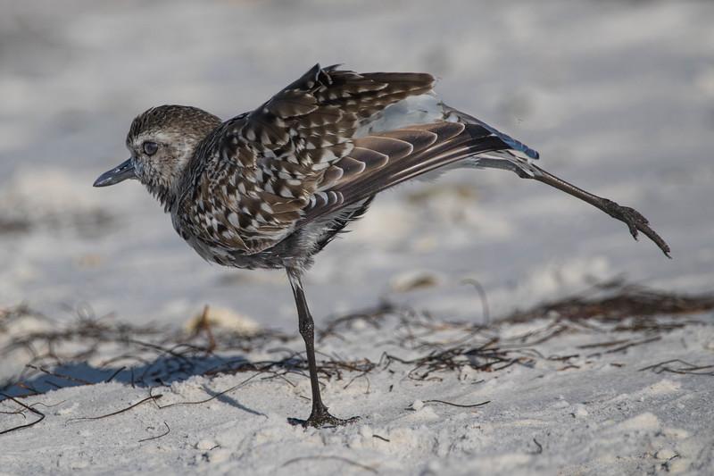 Black-Bellied Plover<br /> Sarasota county, FL
