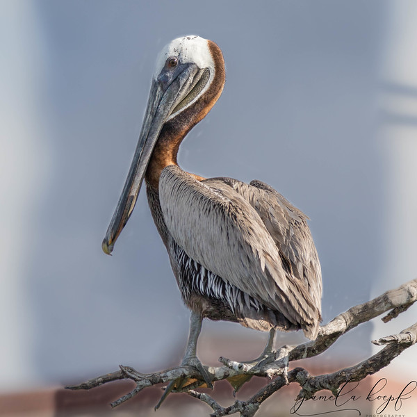 Brown Peican