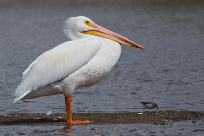 American White Pelican<br /> Location: Sarasota county, FL