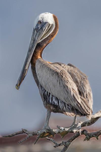 Brown Pelican<br /> Sarasota county, FL
