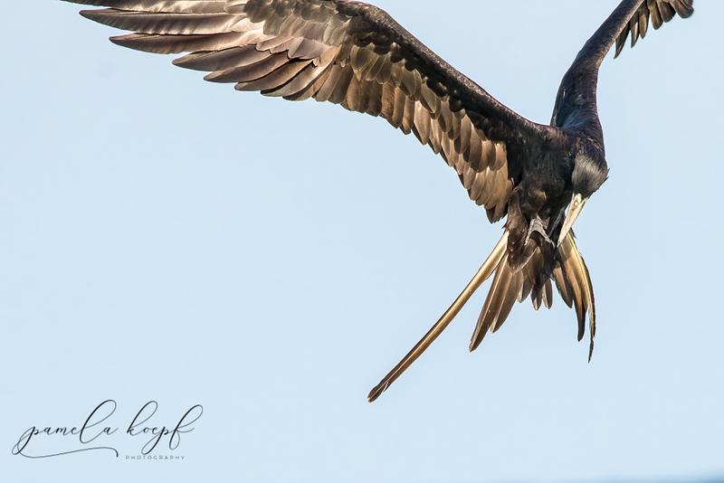 Magnificient Frigatebird<br /> Sarasota county, FL<br /> Siesta Key Beach