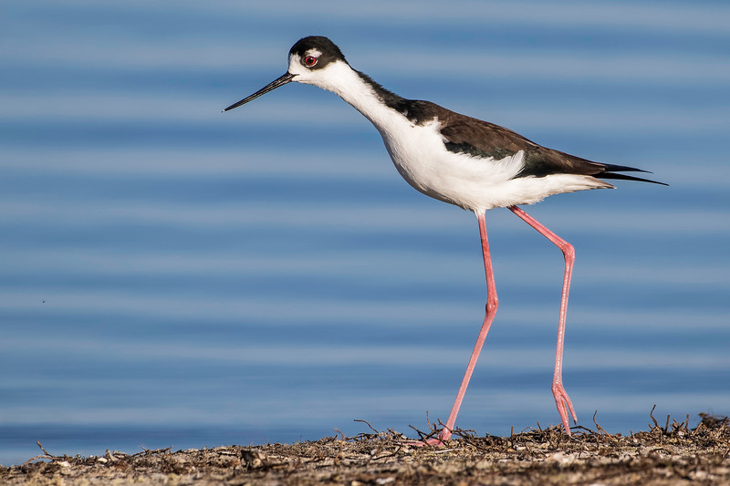Black-necked Stilt<br /> Location: Sarasota County, FL