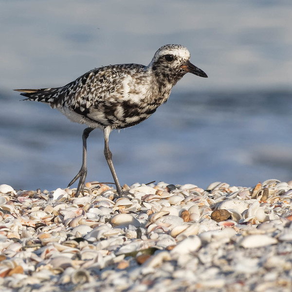 Black-bellied Plover on the wrack-line<br /> Location: Charlotte county, FL<br /> Little Gasparilla Island