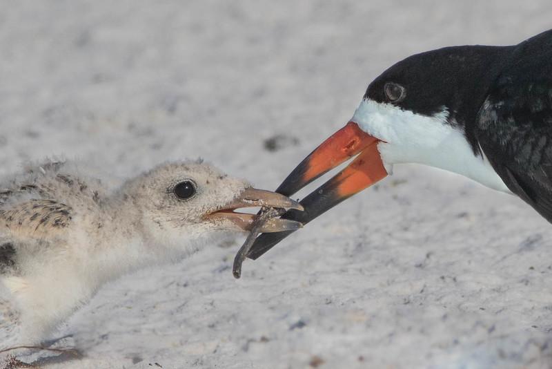 Black Skimmer & Chick<br /> Sarasota county, FL