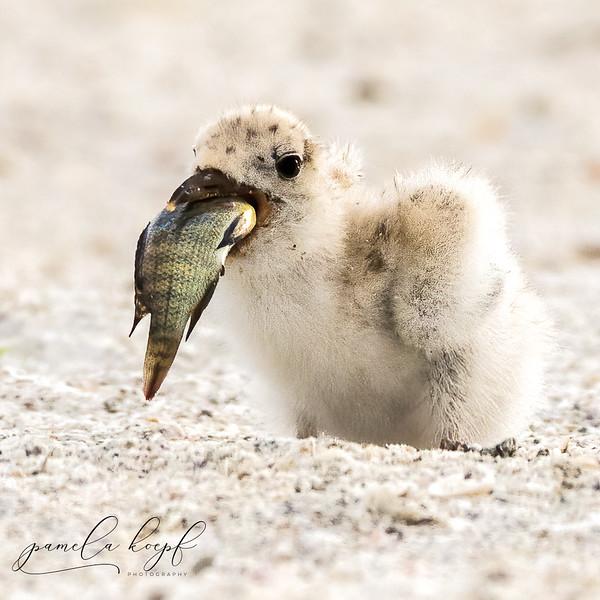 Black Skimmer chick<br /> Sarasota county, FL<br /> Lido Key Beach