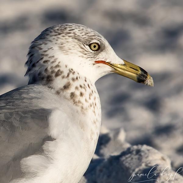 Ring-billed Gull<br /> Sarasota county, FL<br /> Siesta Key Beach