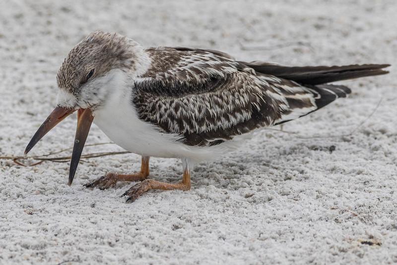 Black Skimmer (chick)<br /> Location: Sarasota county, FL