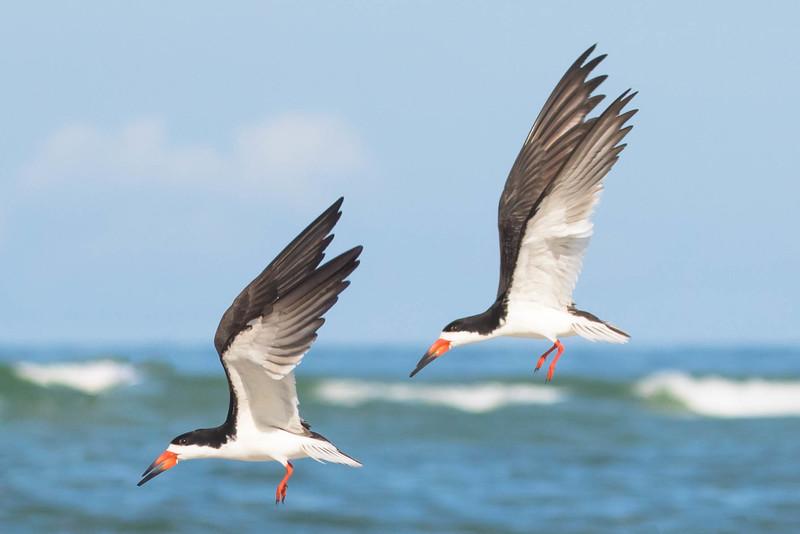 Black Skimmers in Flight<br /> Sarasota county, FL