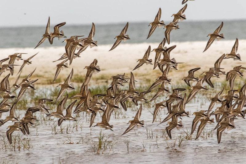 Flock of Least Sandpipers<br /> Location: Sarasota county, FL