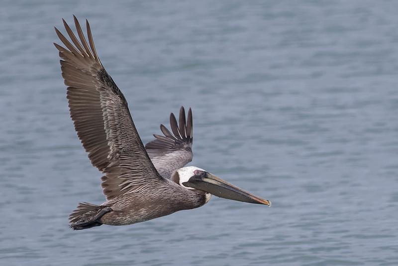 Brown Pelican<br /> Location: Sarasota county, FL