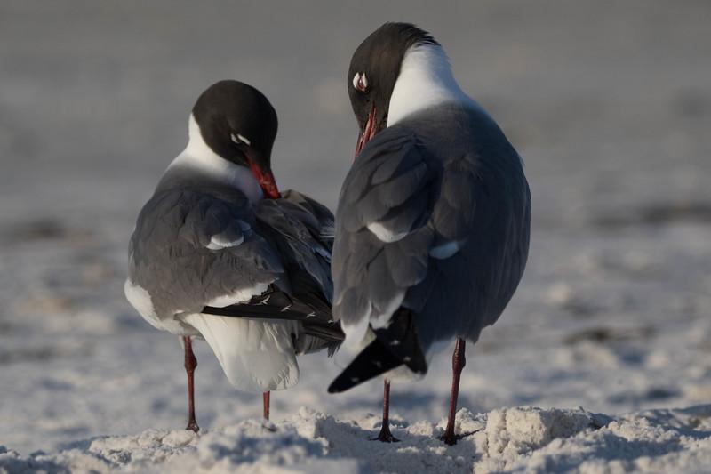 Laughing Gulls<br /> Sarasota county, FL