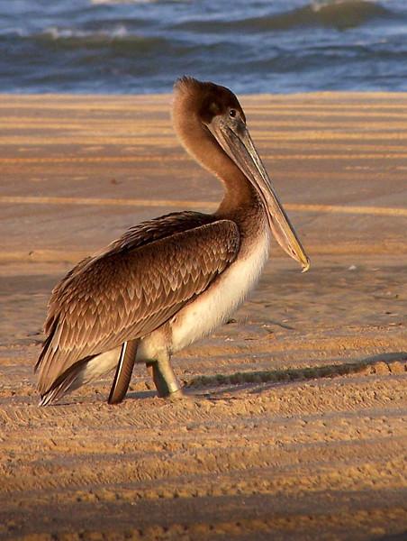 Brown Pelican<br /> Dare county, NC