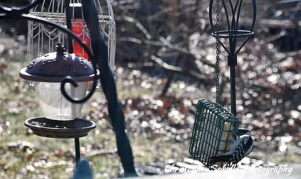 BIRDS DOWNEY WOODPECKER