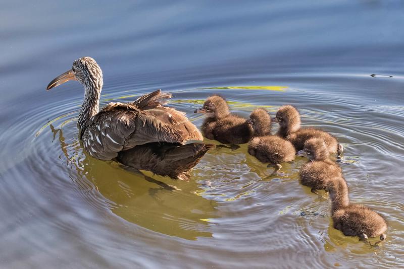 Limpkin family<br /> Location: Sarasota county, FL