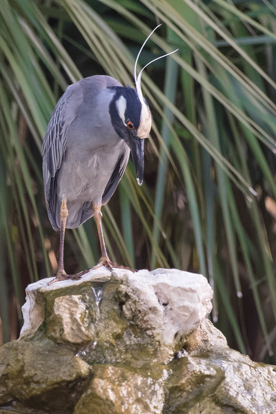 Yellow-crowned Night Heron<br /> Location:  Pinellas county