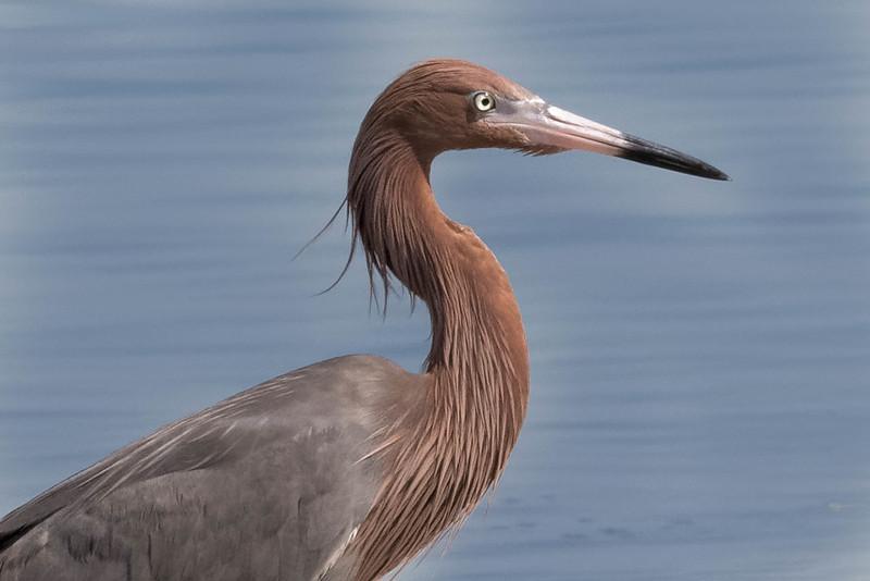 Reddish Egret<br /> Location: Pinellas county, FL