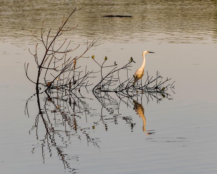Great Egret<br /> JW Ding Darling NWR , Lee County, FL