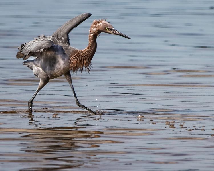 Reddish Egret<br /> Location: JW Ding Darling NWR, Lee County, FL