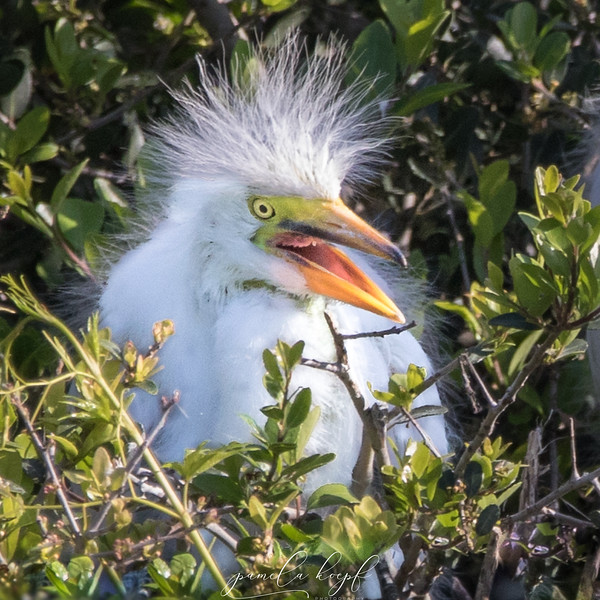 Great Egret<br /> Beaufort county, SC<br /> Pinckney Island NWR