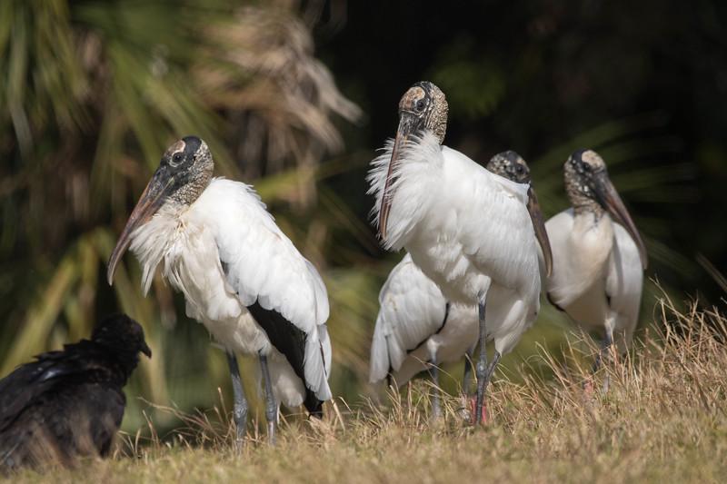 Wood Storks<br /> Location: Sarasota county, FL