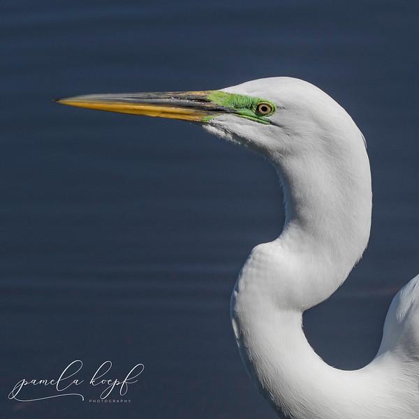Great Egret<br /> Sarasota county, FL