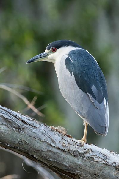 Black-crowned Night Heron<br /> Location: Sarasota county, FL