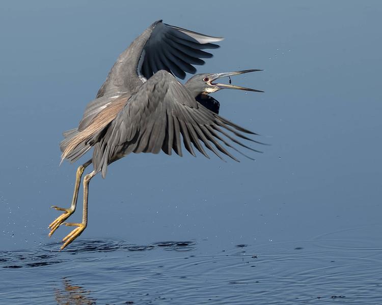 Tri-colored Heron<br /> Location: Polk county, FL