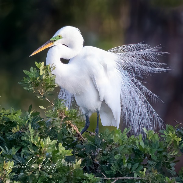 Great Egret<br /> Sarasota county, FL<br /> Venice Rookery