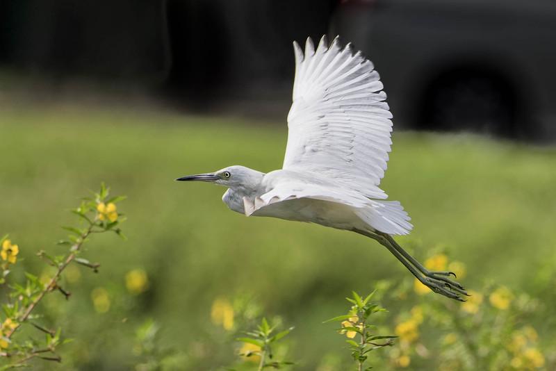 Little Blue Heron, juvenile<br /> Location: Sarasota County, FL