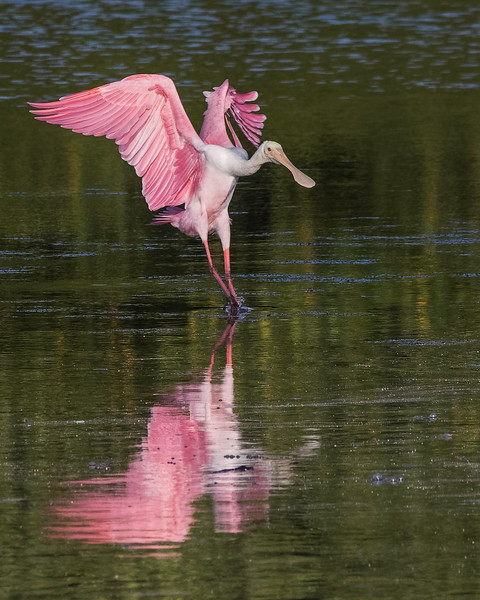Roseate Spoonbill<br /> Location:  JW Ding Darling NWR,  Lee County, FL