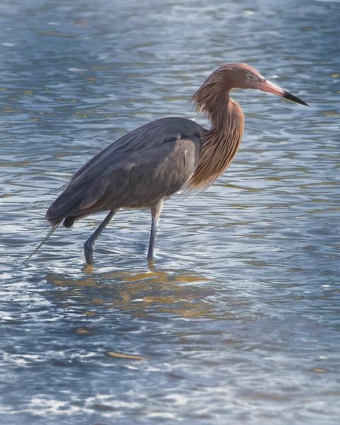 Reddish Egret<br /> Location: Lee county, FL