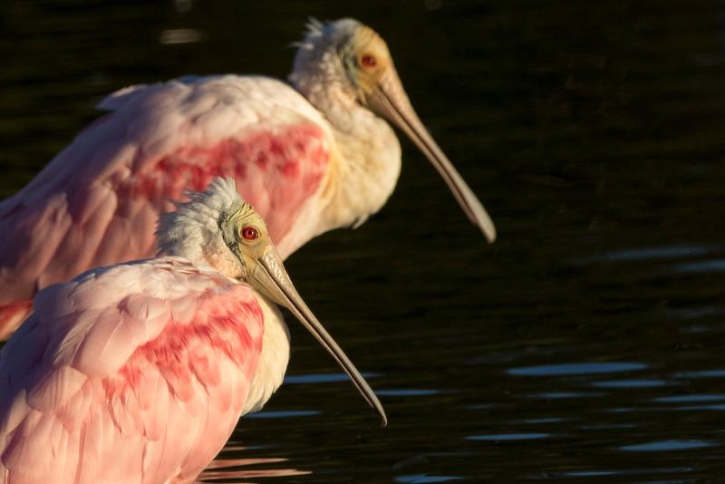 Roseate Spoonbills<br /> Location: Sarasota county, FL