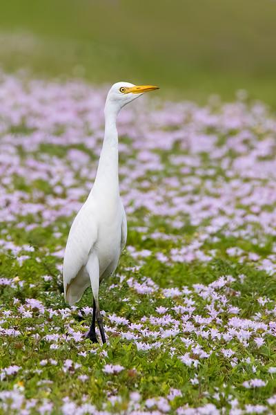 Cattle Egret<br /> Sarasota county, FL<br /> Nathan Bendersen Park