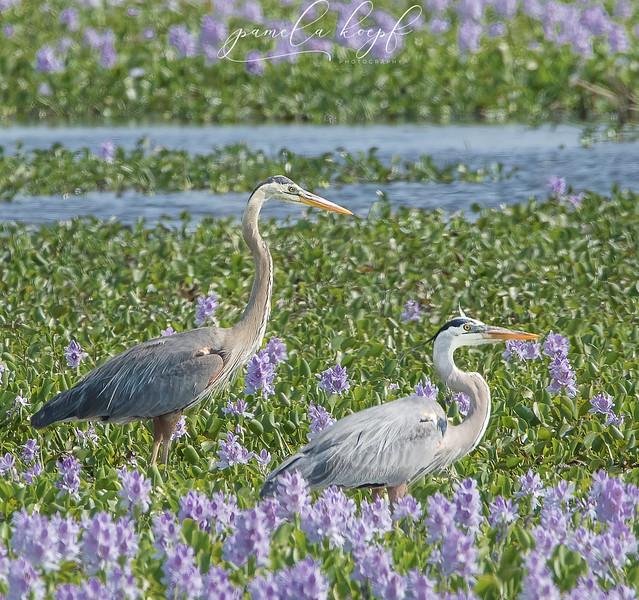 Great Blue Herons<br /> Sarasota County