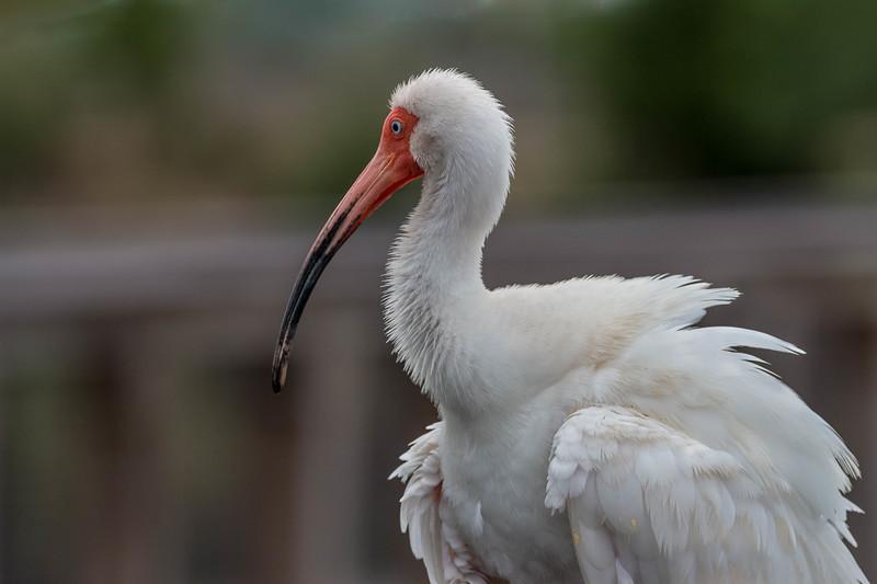 White Ibis<br /> Location: Sarasota county, FL