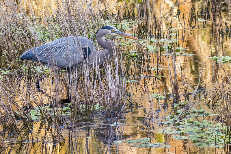 Great Blue Heron<br /> Location: Sarasota County, FL